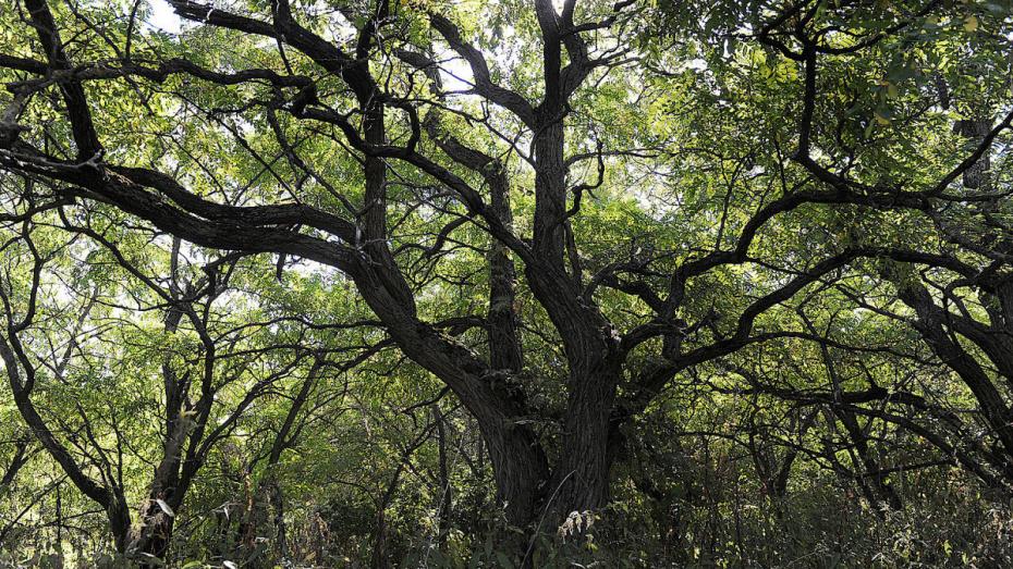 В Воронежской области весной-2019 посадили более 1,5 тыс га леса