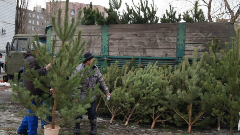 В Воронеже начались рейды по ликвидации несанкционированных елочных базаров
