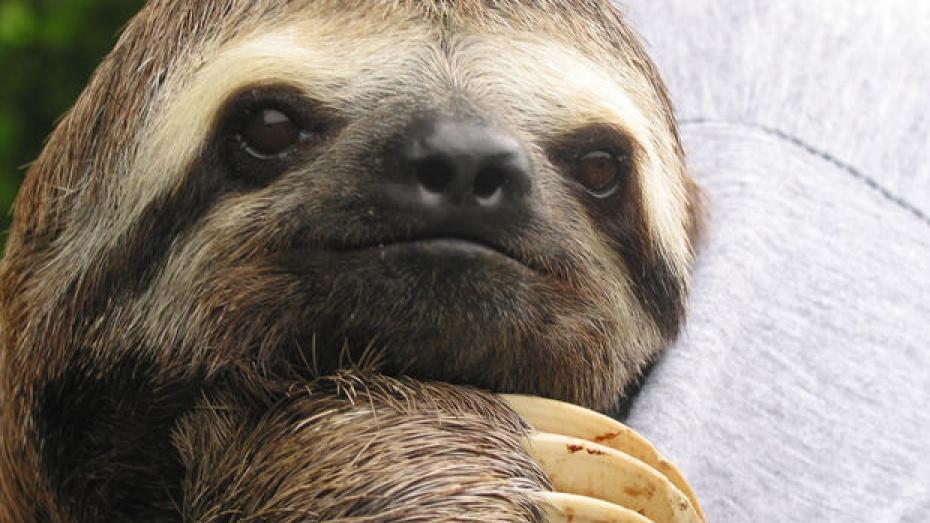 В воронежский океанариум из джунглей Южной Америки привезли ленивца