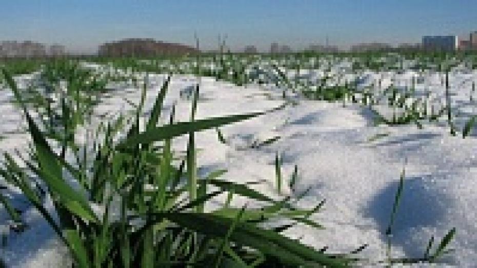 В Верхнемамонском районе в зимовку в хорошем состоянии ушло меньше половины озимых