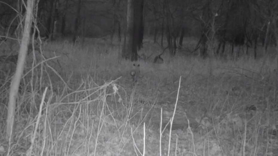 Лиса с украденной добычей попала в фотоловушку в заповеднике Воронежской области
