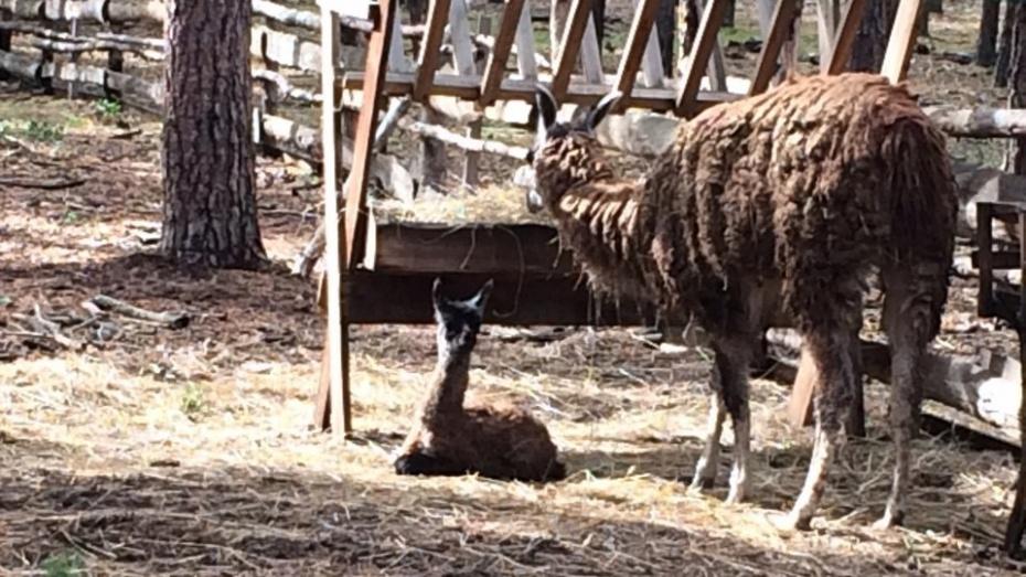 Лама родила вворонежском зоопарке