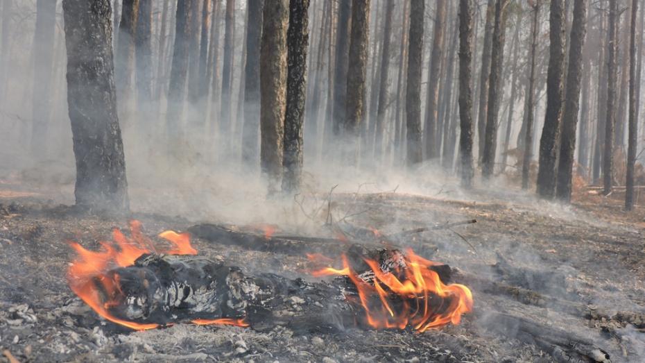 В Борисоглебске выгорело 3 га соснового леса