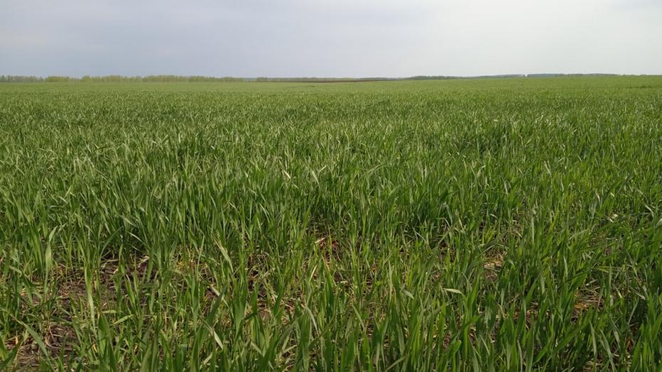 В воронежском агрохолдинге «Продимекс» спрогнозировали рекордный урожай озимых