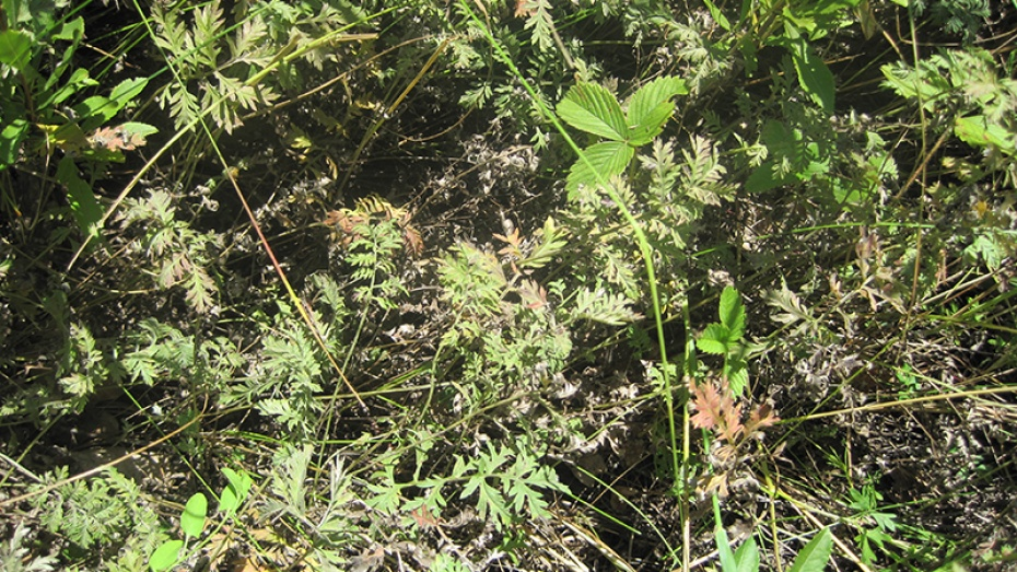В заповеднике в Воронежской области нашли новый вид полыни