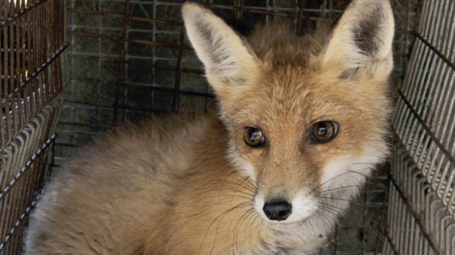Бешеные лисы атакуют павловских собак