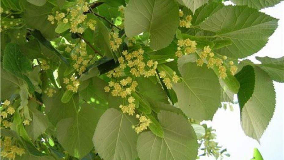 Весной в центре Воронежа посадят липы