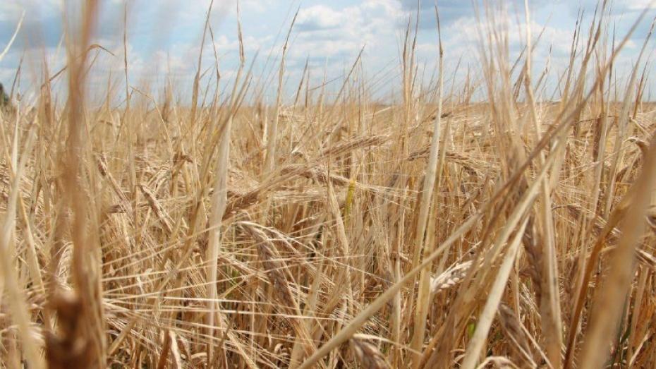 В Воронежской области аграрии собрали 4 млн т зерна