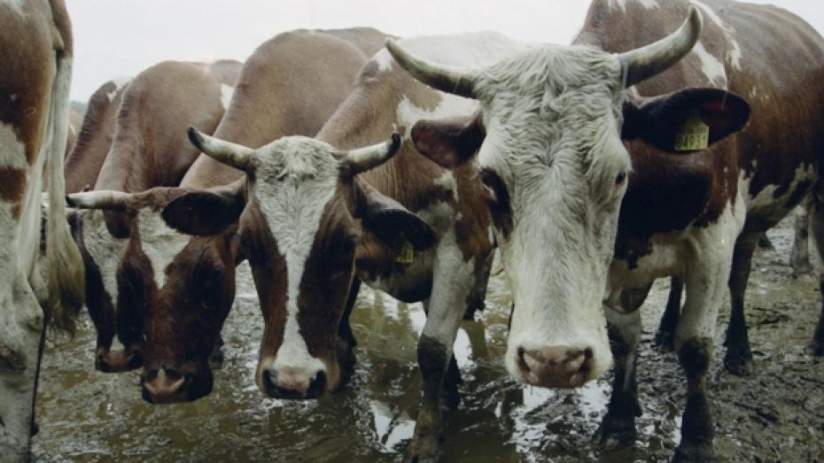 В рамонских селах воруют скот