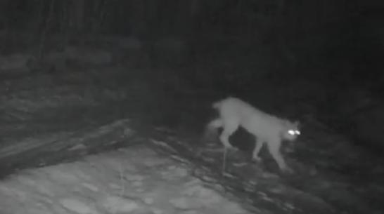 В Воронежском заповеднике впервые за 95 лет заметили рысь
