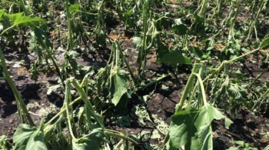 В кантемировском селе Фисенково градом повредило сельхозкультуры на 100 га