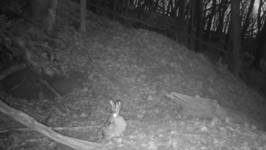 Заповедник в Воронежской области опубликовал видео с осторожным зайцем