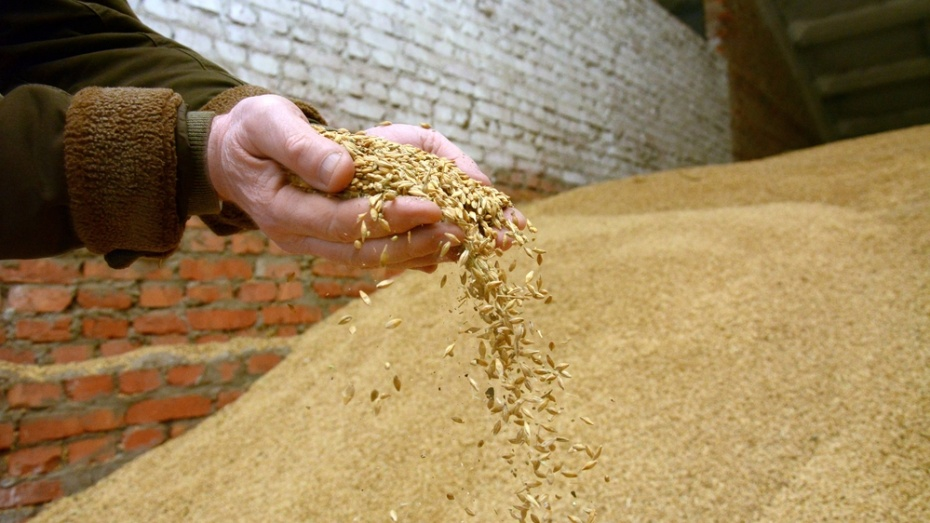 Острогожские аграрии начали закупку элитных семян зерновых культур