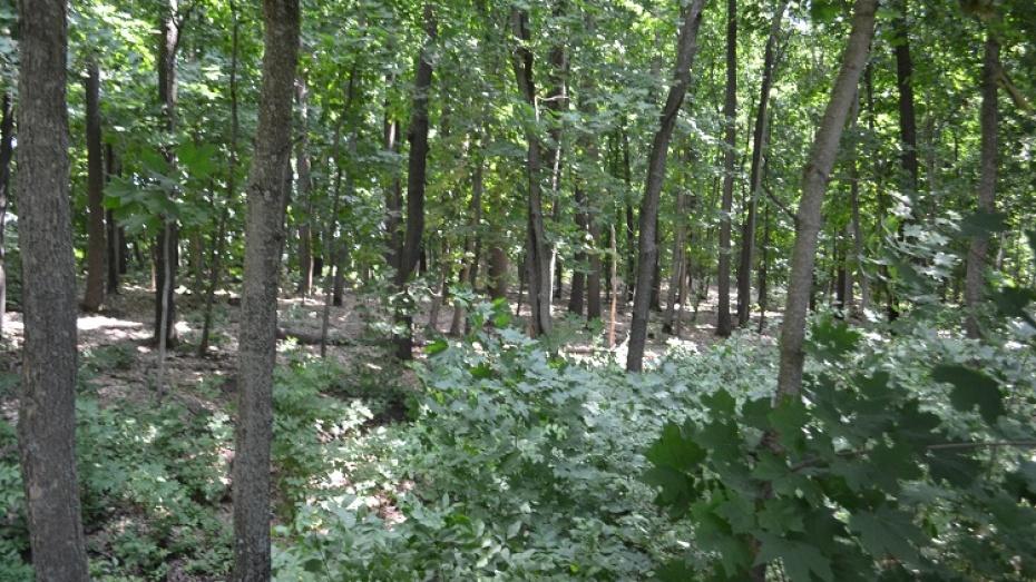 ВВоронежской области массово вырубили вековые дубы
