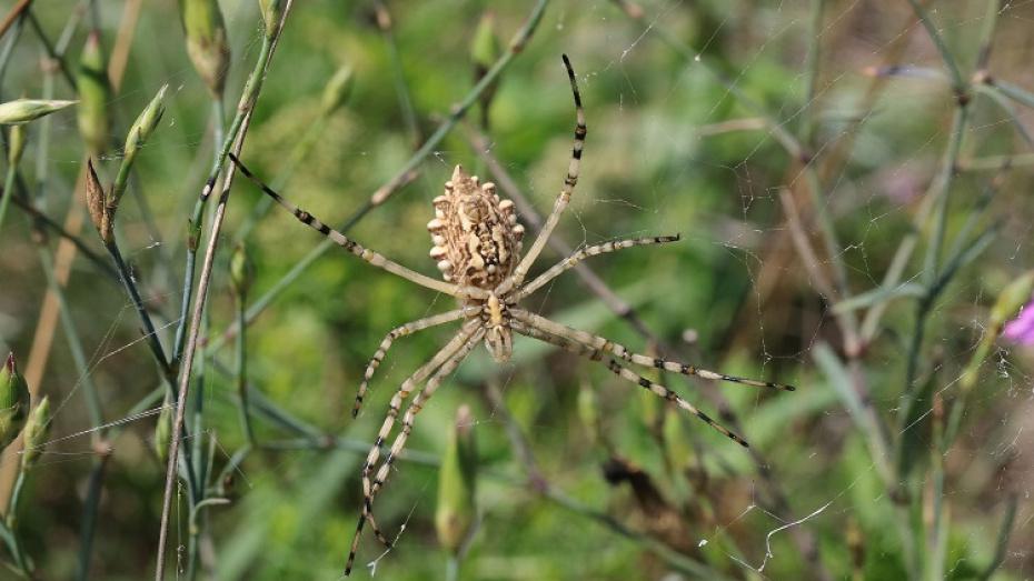 В Воронежском заповеднике впервые заметили редкого паука