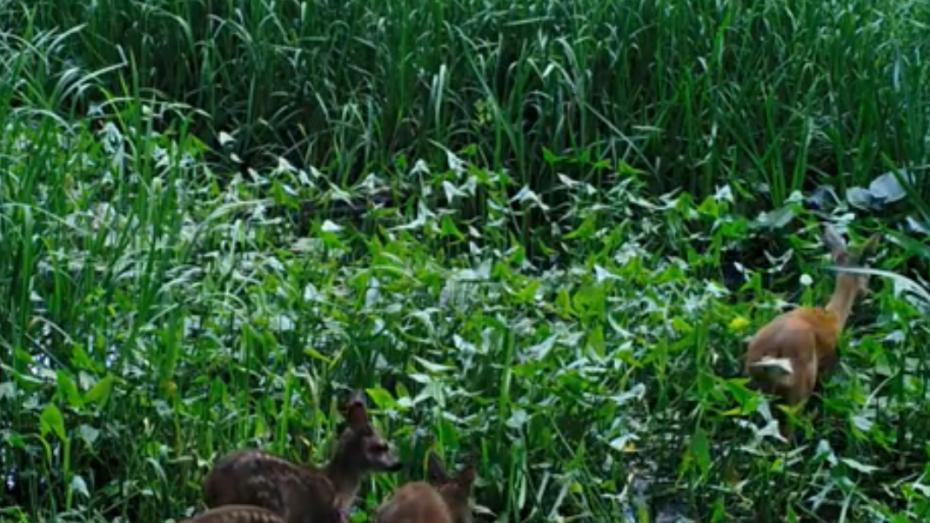В фотоловушку Воронежского заповедника впервые попала многодетная семья косуль