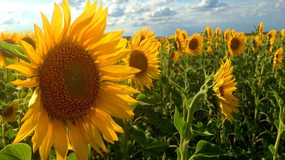 В Воронеж придут жара и засуха