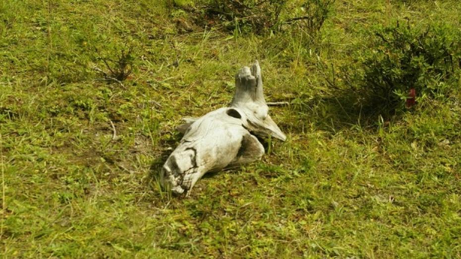 В Воронежской области не уничтожали трупы животных
